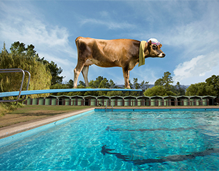 Advertising - Cow on Diving Board