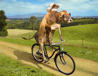 Advertising, Cow on a Bike